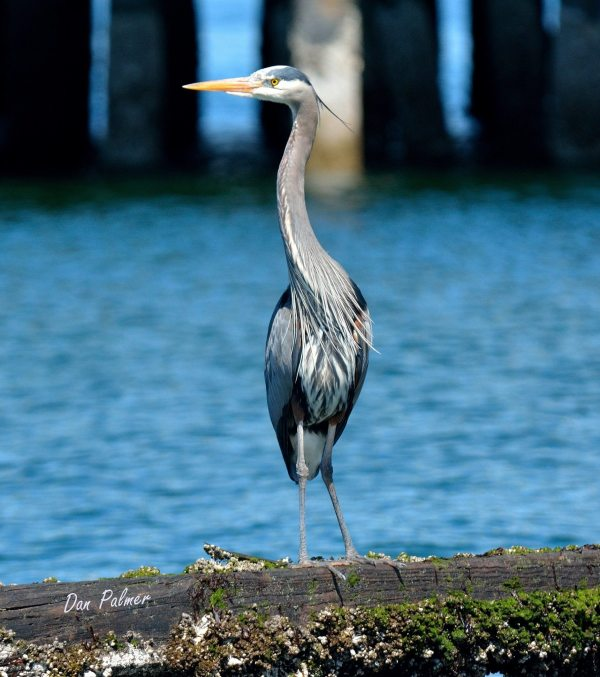 From Dan Palmer, a Great Blue Heron on the old pilings just south of the ferry dock on Earth Day, April 22.