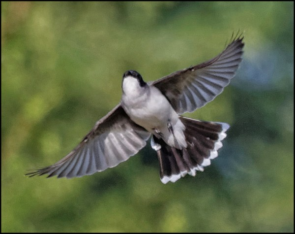 An Eastern Kingbird from the June 14 Bird Lore column. (Photo by LeRoy VanHee)