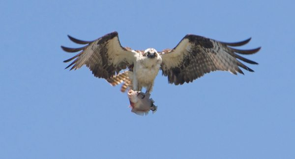 From Stu Davidson, a saltwater fish's first -- and last -- flight, as the osprey completes a successful fishing trip on the Edmonds waterfront.