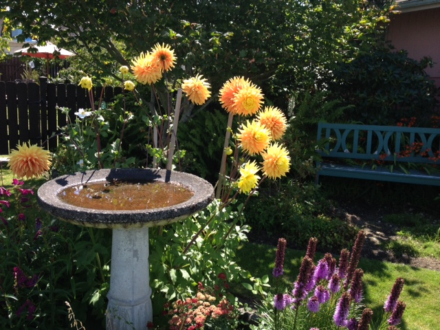 From John Pauls, in the 300 block of Sunset Avenue. Have a photo of dahlias — our official city flower — that you'd like to share? Email it to teresa@myedmondsnews.com