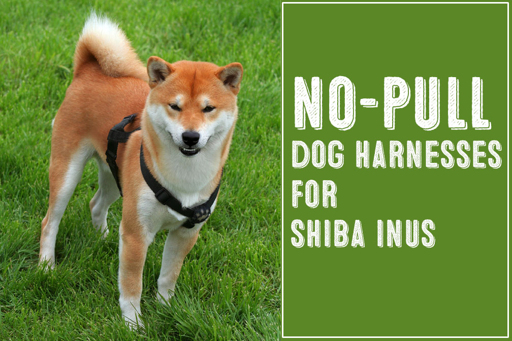 Two Of The Best No Pull Dog Harnesses For Shiba Inus - My First