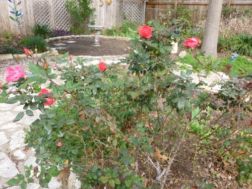Medium Of Pruning Knockout Roses