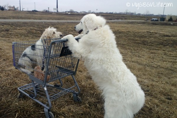 My GBGV Life Shopping with my Kuvasz sister Katie