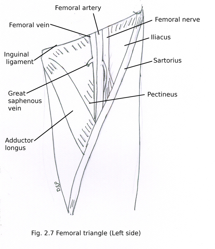 Front of thigh and Medial side of thigh - myhumananatomy - femoral triangle