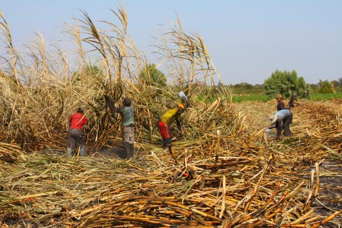 Zuckerrohrarbeiter auf einem Feld der Firma Casa Grande S.A.A.
