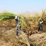 Unverbrennbar Zuckerrohr wird vom Feld gebracht