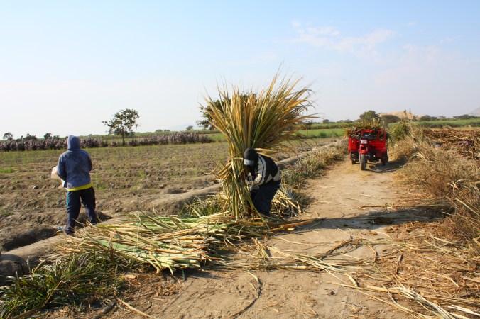 Links: abgeerntetes Spargelfeld, Rechts: Zuckerrohrarbeiter bei der Ernte