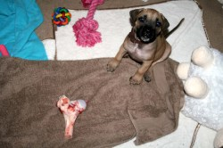 Indoor So Living Your Boerboel Months My Little Boerboel Dog Licking Bottom Tail Dog Licking Bottom All Time