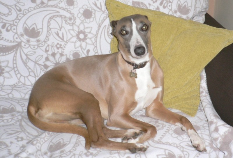 Large Of Wendy The Whippet