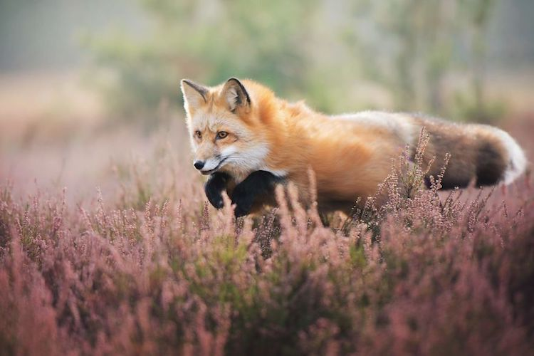 Girl Beautiful Hd Wallpaper Enchanting Fox Photography Of A Creature Named Freya