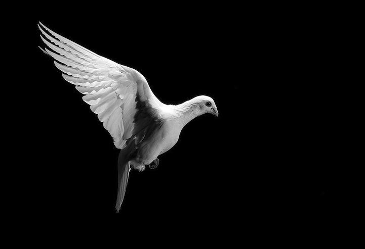 Wallpaper Layar Pecah 3d Magnificent Photos Of Pigeons In Flight By David Stephenson