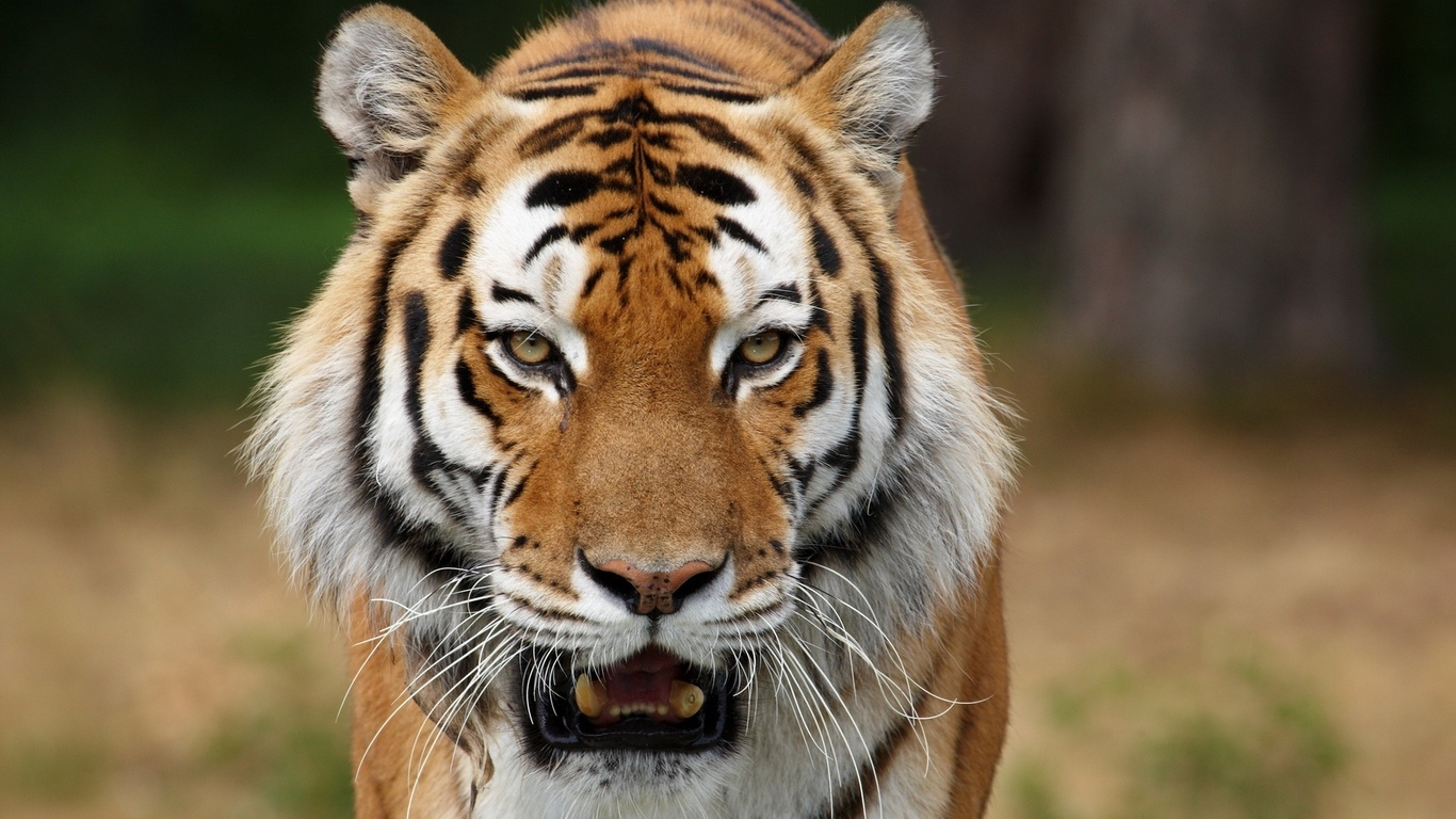 Cute Bengal Cats Wallpaper Tiger Face It S Nice Time