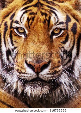 Psychedelic Wallpaper Hd Tiger Face It S Nice Time