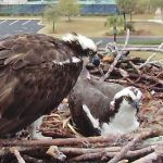 Orange Beach Osprey Nest Webcam