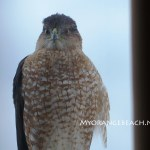 Hawk on a Rail Winter 2016