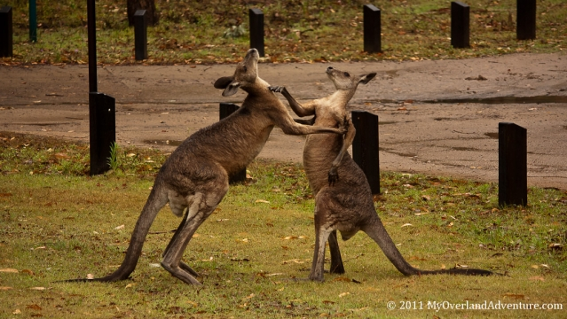 Boxing Kangaroos Right Hook