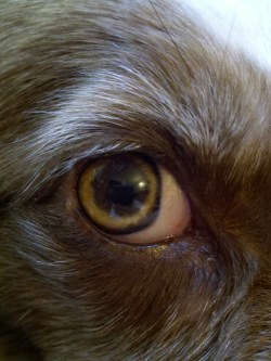 Small Of Dogs Eyes Are Red