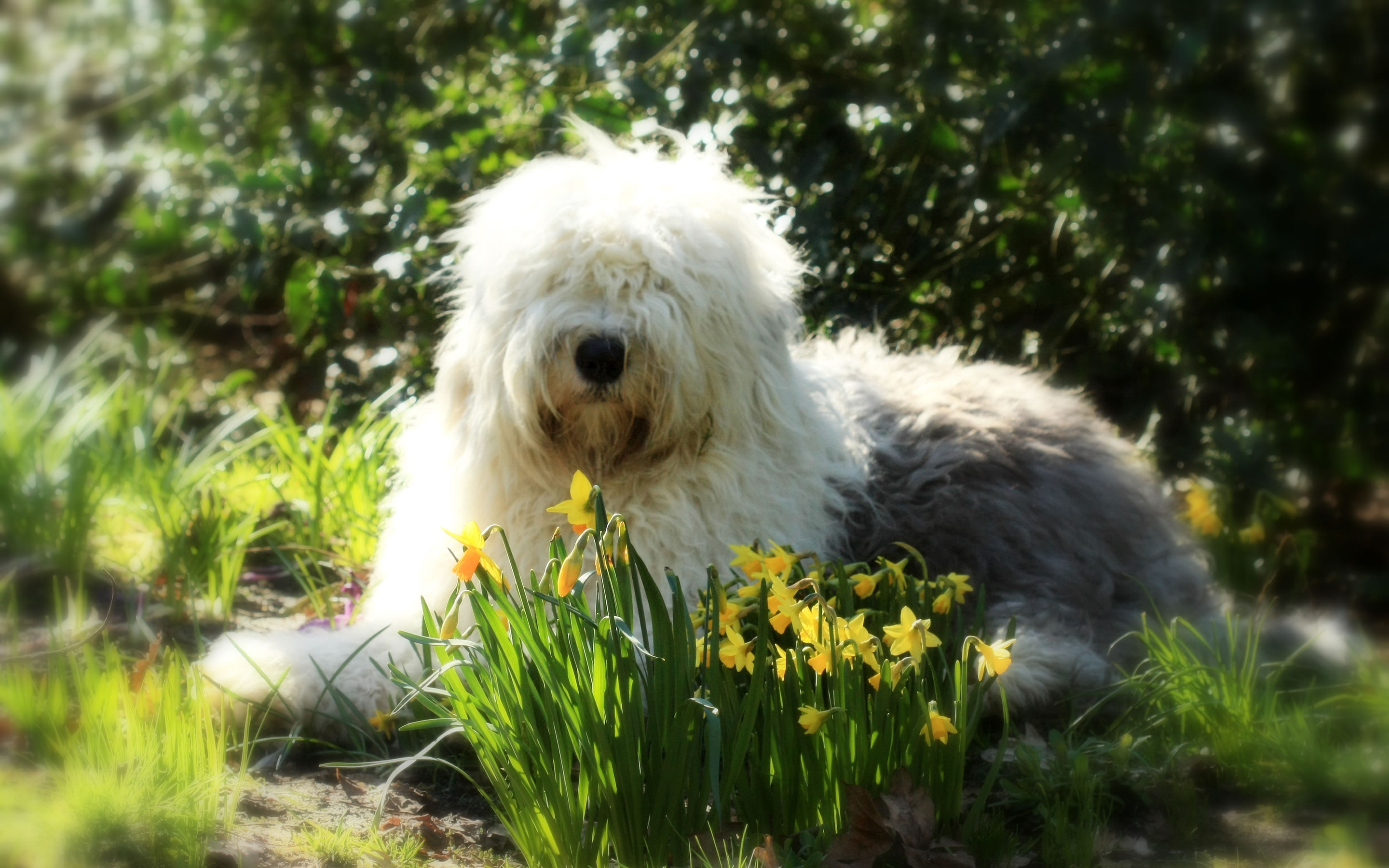 Are Old English Old English Sheepdog My Pet World