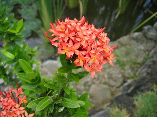 Ixora (in the Philippines, Santan). Native to India. A very common low hedge in the Philippines.