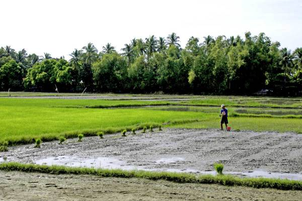 Planting rice between Culasi and Pandan, Antique Province, Philippines