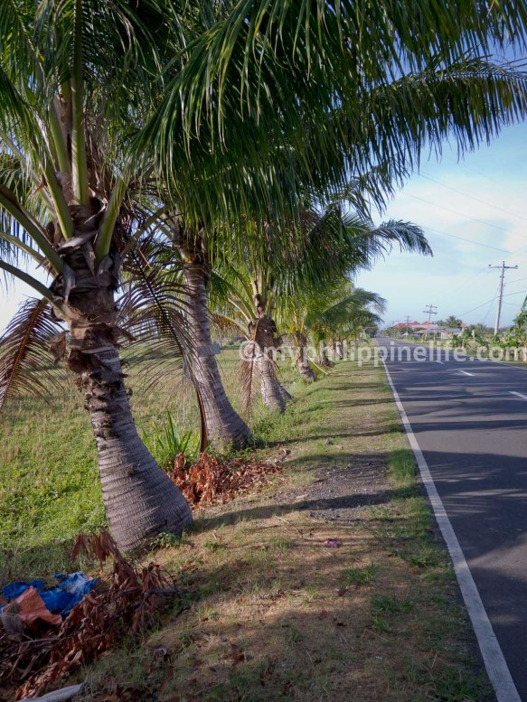 Dwarf Coconut trees line the Tigbauan-Leon Road, Tigbauan, Iloilo. Philippines