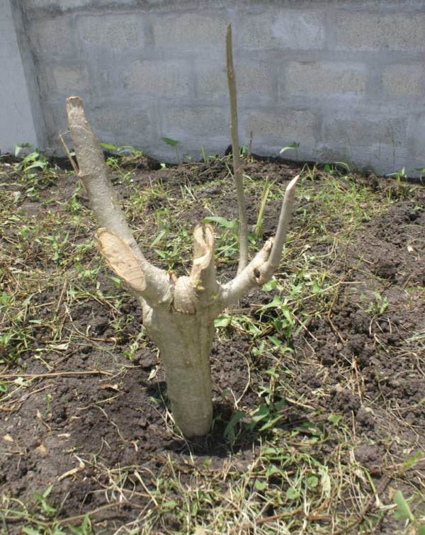 Newly planted Malunggay tree
