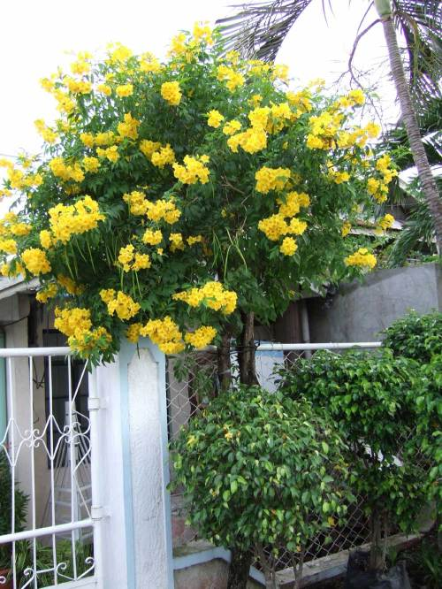 Yellow Bells, Yellow Trumpet Tree (Tecoma stans), Rizal Avenue, Arevalo, Iloilo City, Philippines