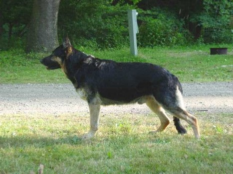 Top 10 Dogs in Pakistan with Prices Pictures and Their Breed Name