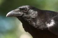 20140617_Crow_face