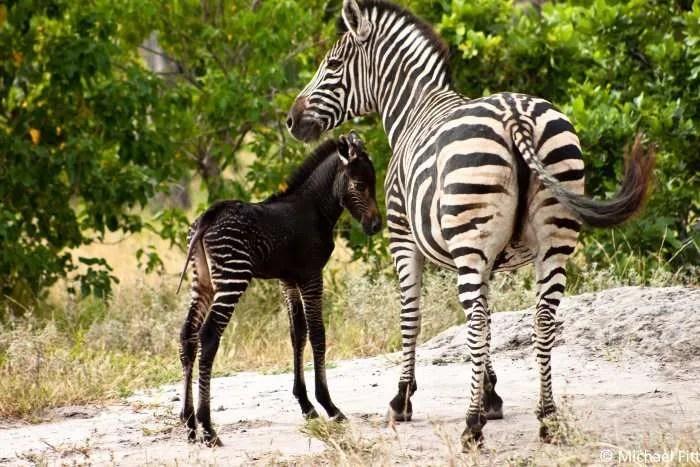 black-zebra