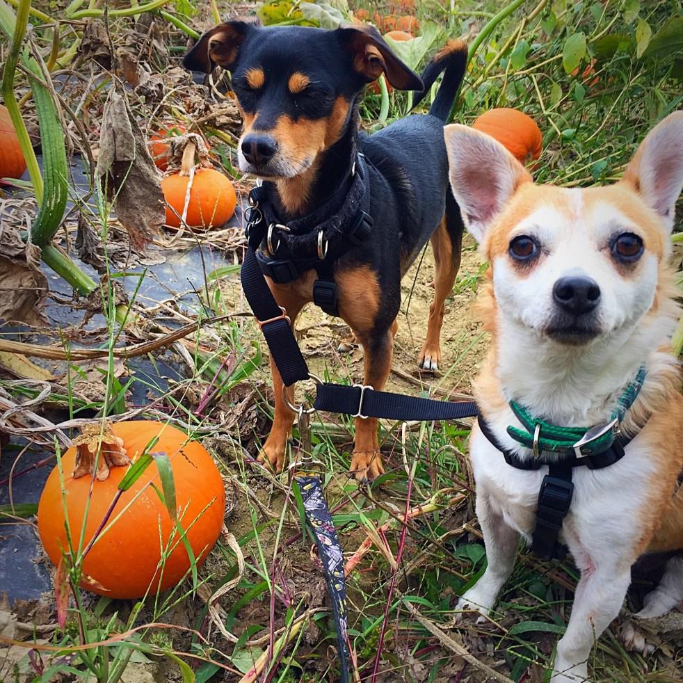 pumpkin picking puppies
