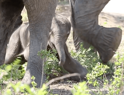 Cutest Baby Elephant First Steps