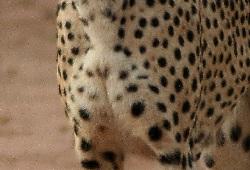 Cheetah Chest