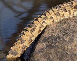 Croc Tail