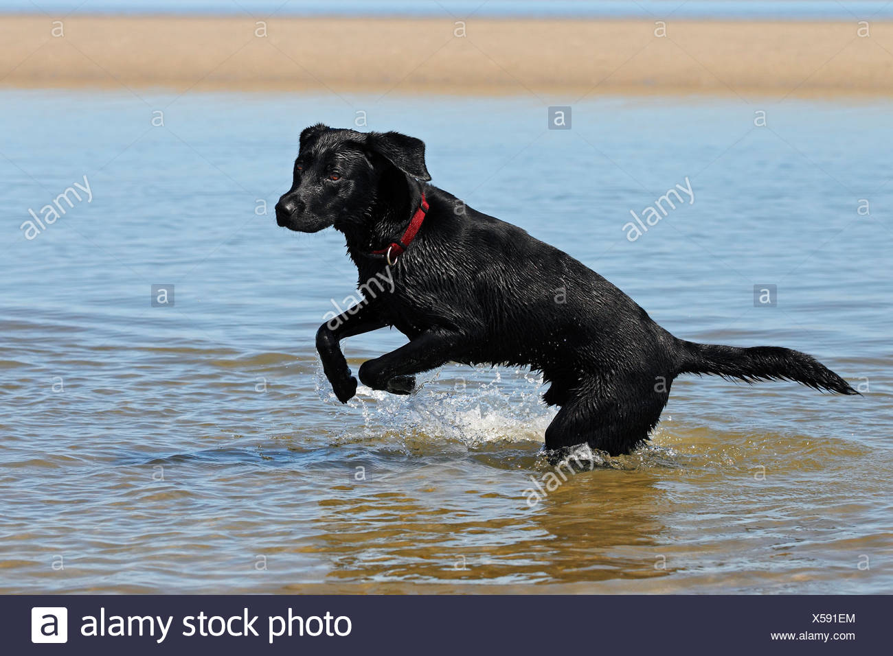 Black Lab Dog Male Black Lab In Water Stock Photos And Black Lab In Water Stock