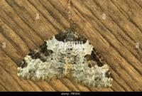 Garden Carpet Moth Stock Photos & Garden Carpet Moth Stock ...