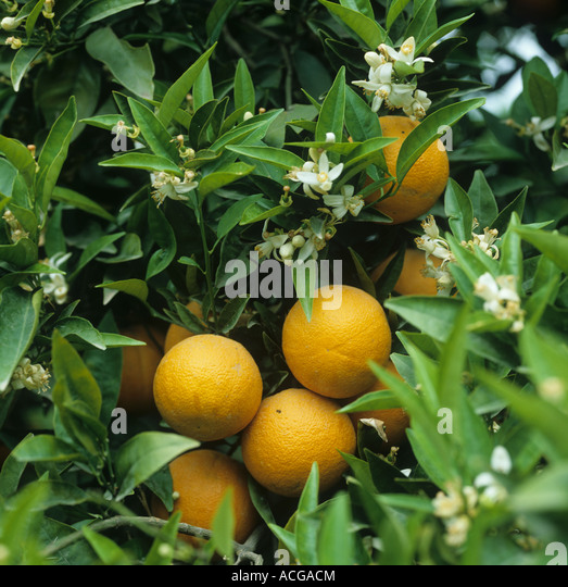 hand pollinating oranges learn how to hand pollinate an