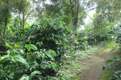 Forest Diversity Offers Shade for Coffee Trees and Additional Crop Options
