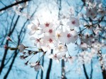 cherry-blossoms-1716762_640