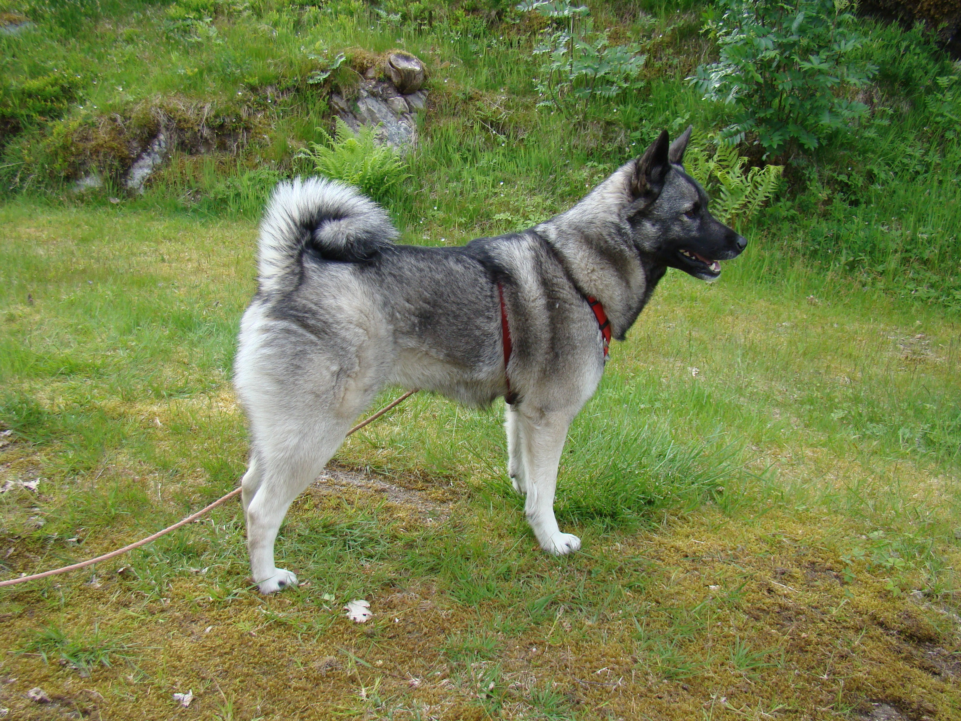 Noorse Elandhond The Naraena Family Blog Norwegian Elkhounds