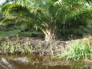 Lahan Gambut Untuk Lahan Pertanian Yang Subur Telah Terjadi Di