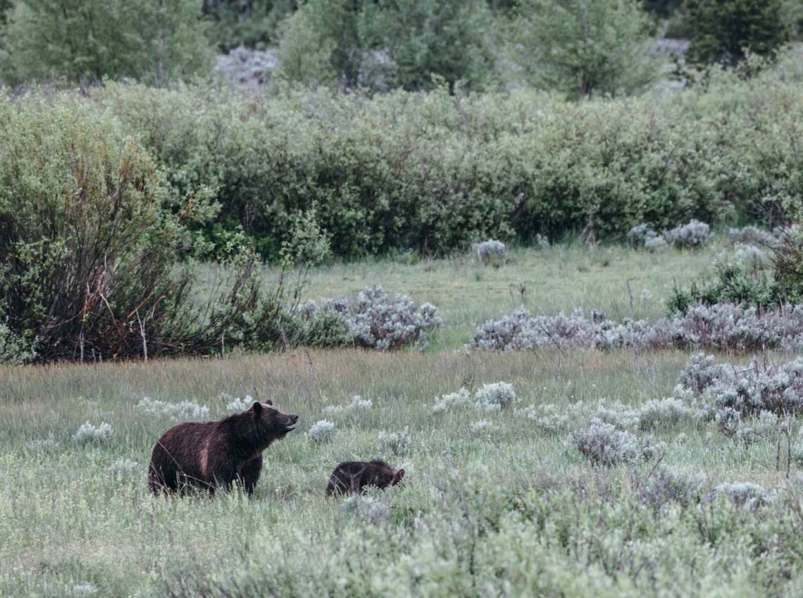 struggle_with_nature_national_park_quest_grand_teton_grizzly_bear