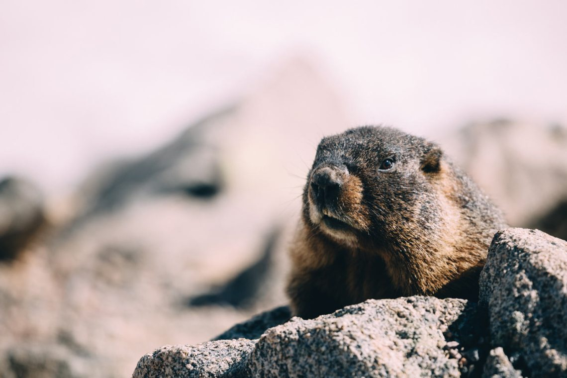 Yellow-bellied marmot on Sundance Mountain, peeking out after a long winter hibernation.