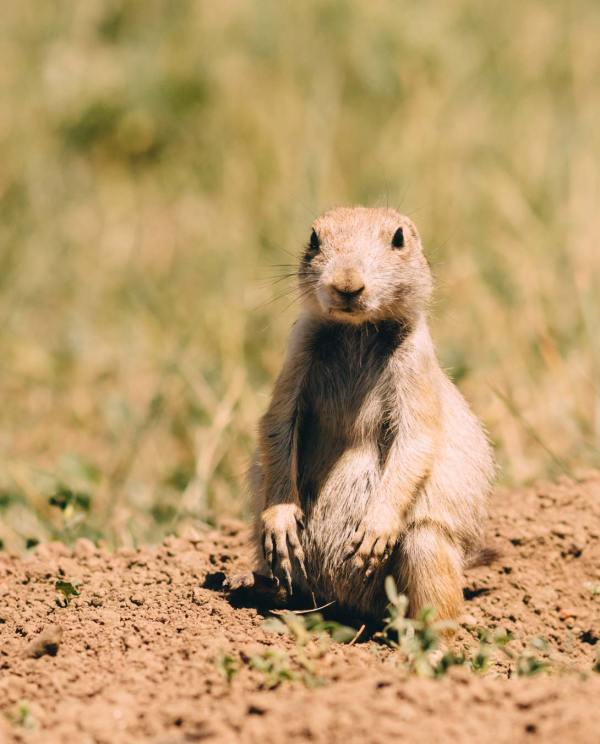 Just hanging out, prairie dog in Wind Cave NP.