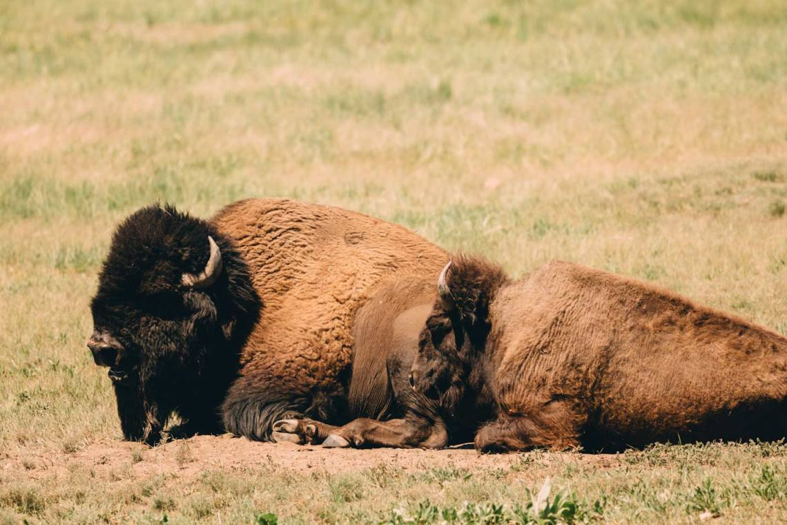 monumental_charms_south_dakota_wind_cave_bison