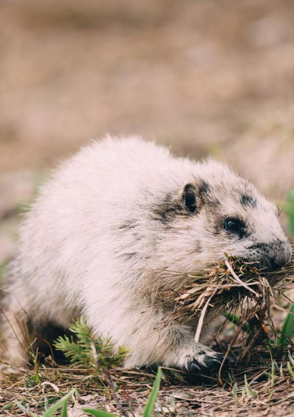 ode_to_mountain_dwellers_mountain_marmot