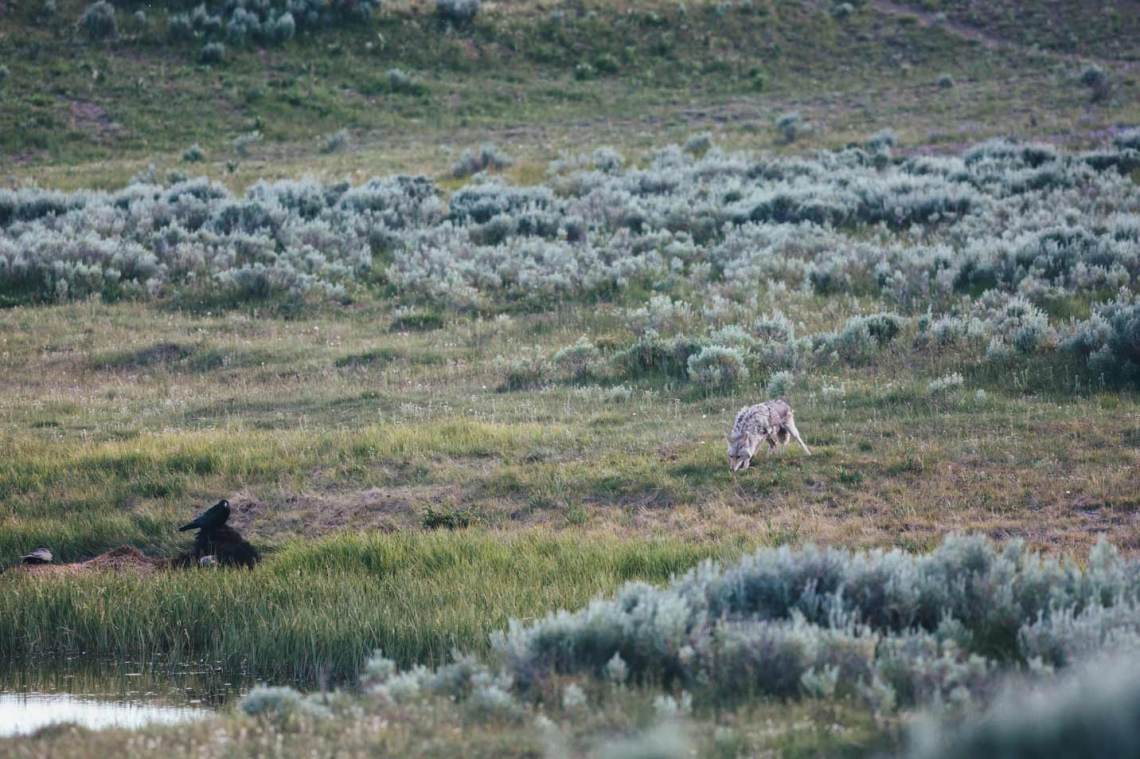 unlikely_colombian_story_wildlife_bison_coyote_national_park_quest