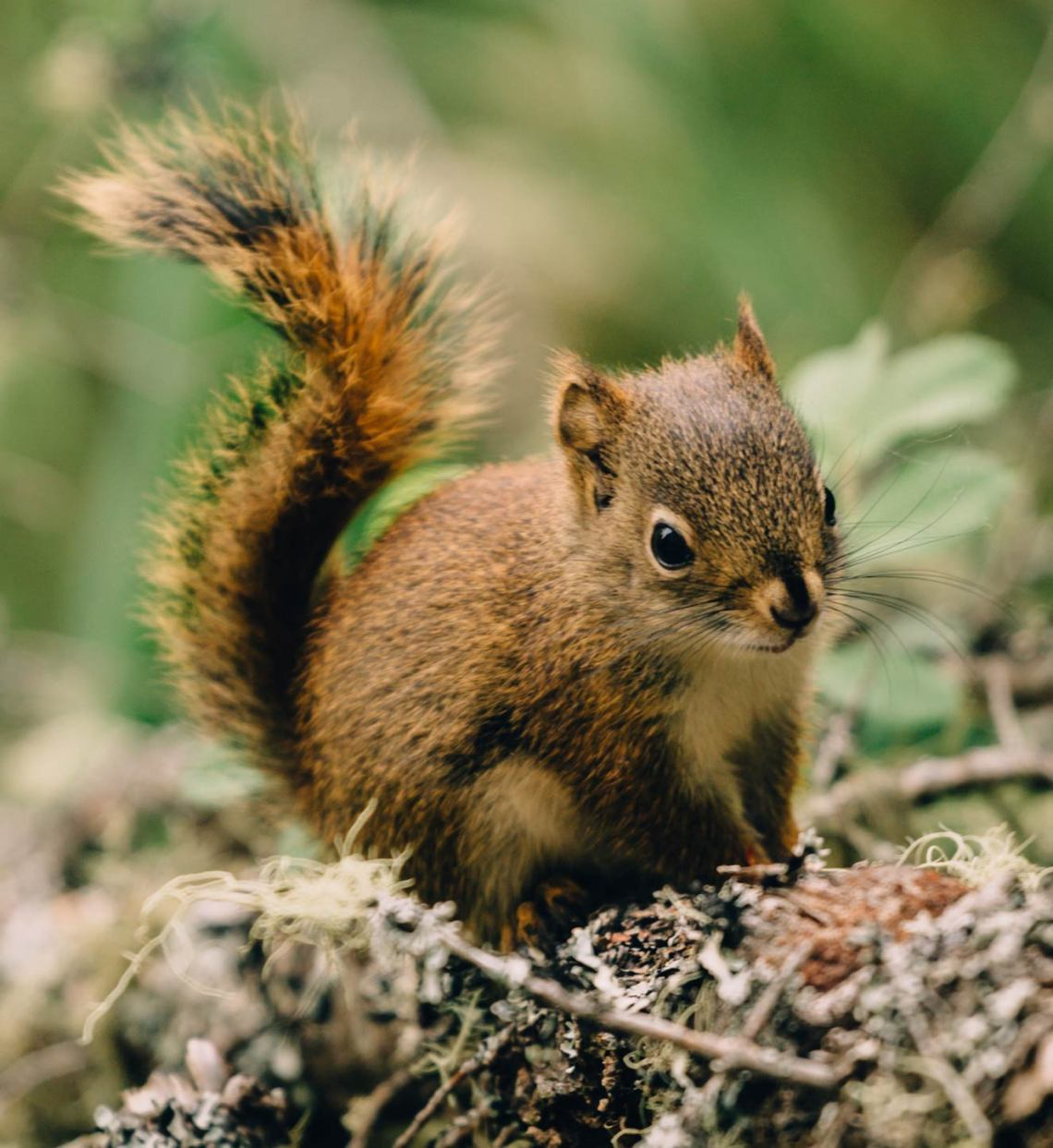 squirrel_isle_royale_national_park3_tips