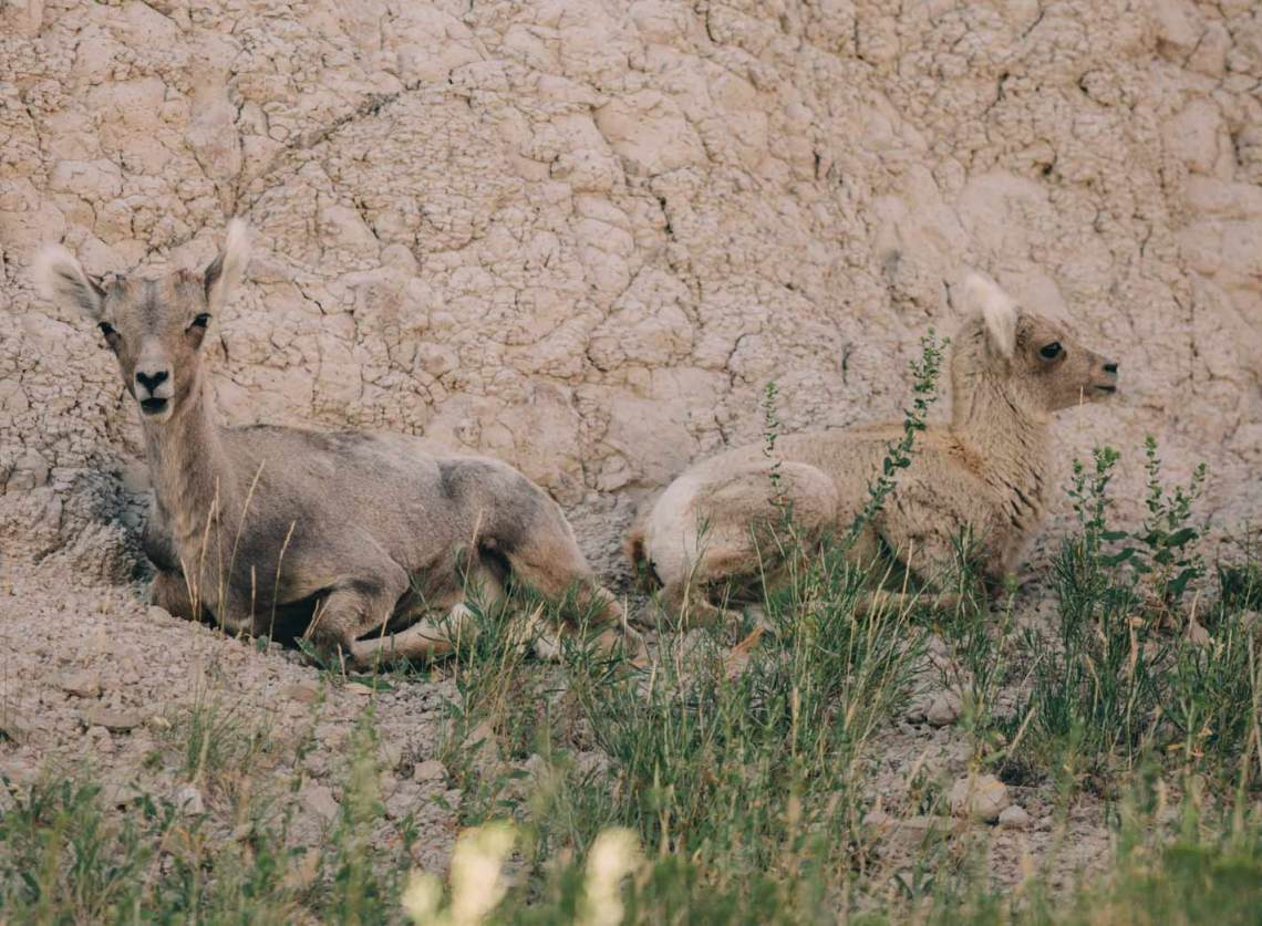 the_art_of_wind_cave_and_badlands_baby_bighorn_sheep