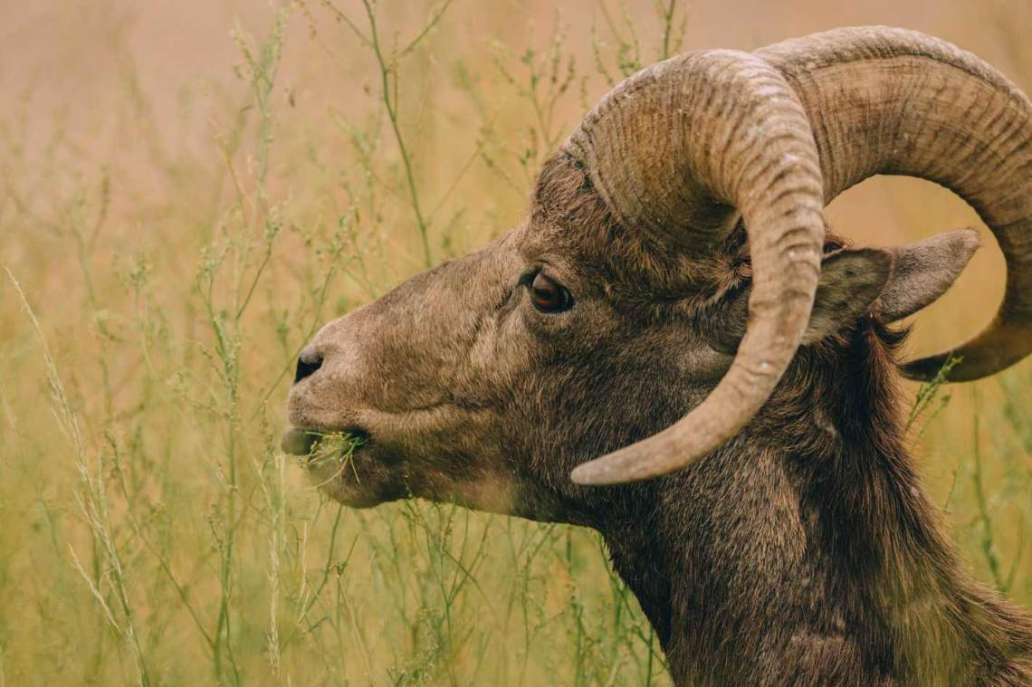 the_art_of_wind_cave_and_badlands_bighorn_sheep_eating